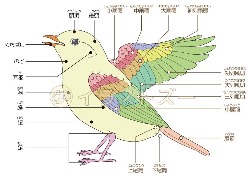 鳥の体の構造のイラスト