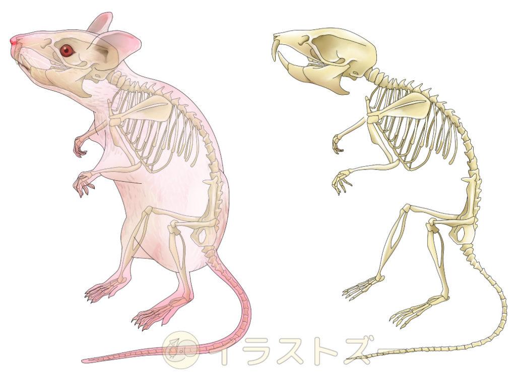 教科書のような解剖イラスト