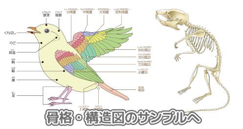 動物の解剖図イラスト制作