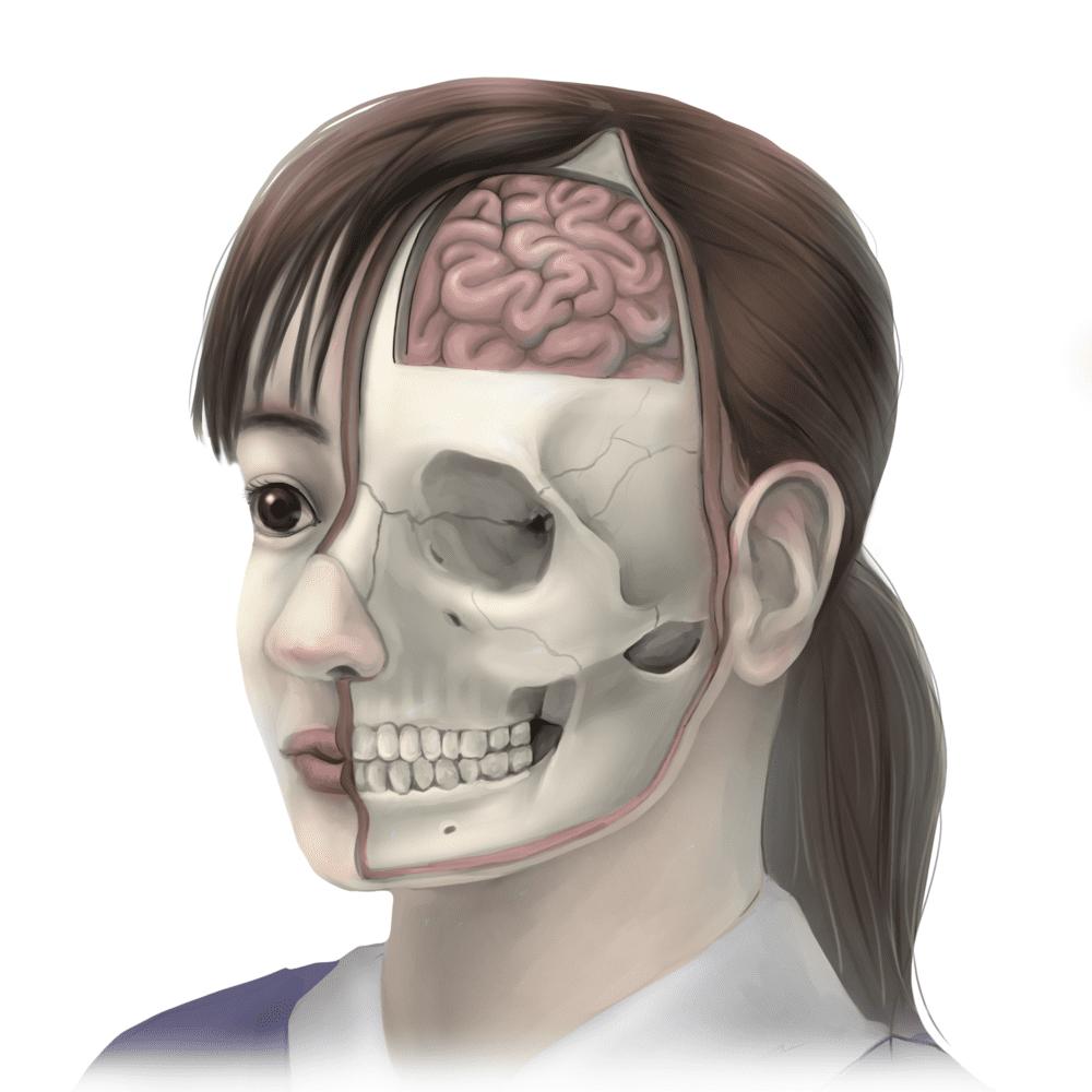 頭蓋骨の構造図