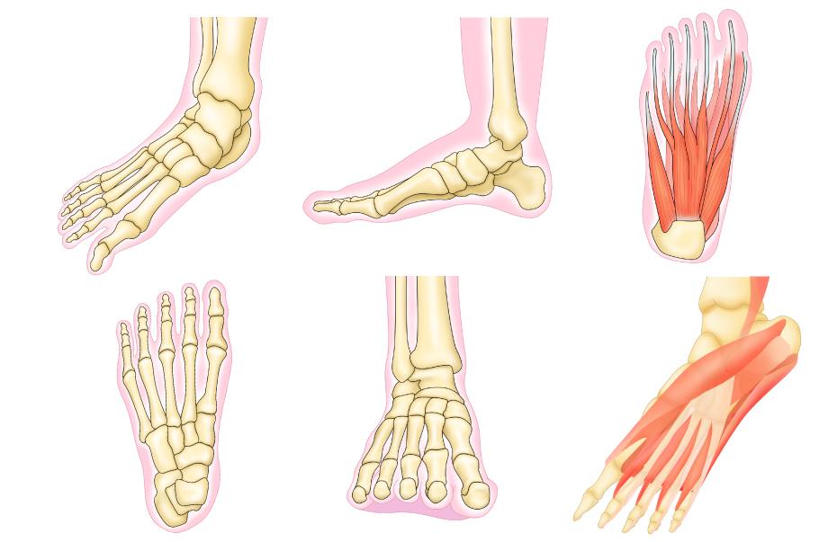 健康本の足骨格イラスト