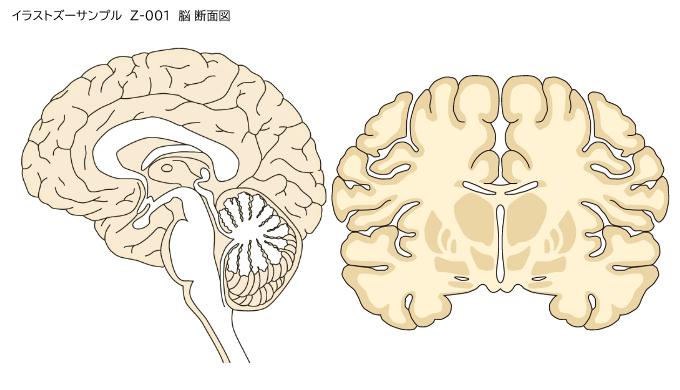 脳の断面イラスト